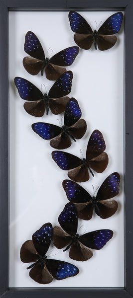 Framed Butterflies | Tall See-through Glass Frame | No.12-F018 - Natural History Direct Online Shop