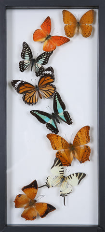 Framed Butterflies | Tall See-through Glass Frame | No.12-F019 - Natural History Direct Online Shop