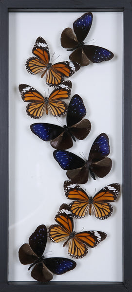 Framed Butterflies | Tall See-through Glass Frame | No.12-F020 - Natural History Direct Online Shop