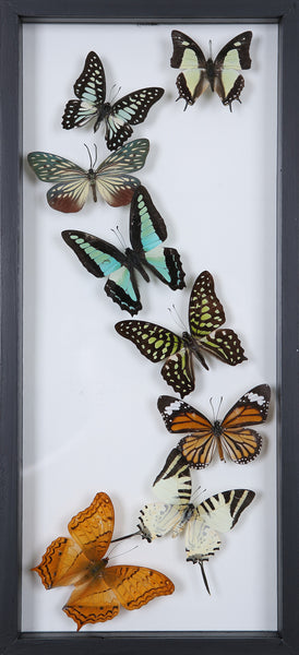 Framed Butterflies | Tall See-through Glass Frame | No.12-F021 - Natural History Direct Online Shop