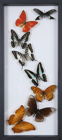 Framed Butterflies | Tall See-through Glass Frame | No.12-F022 - Natural History Direct Online Shop
