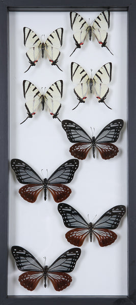 Framed Butterflies | Tall See-through Glass Frame | No.12-F023 - Natural History Direct Online Shop