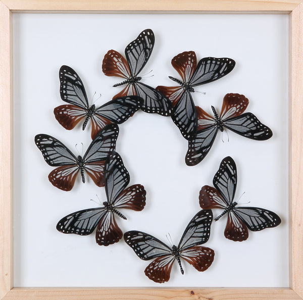 Taxidermy Butterflies Mounted in a Glass Frame | No.12-024 - Natural History Direct Online Shop - 1
