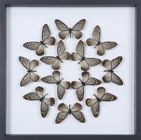 Tropical Butterflies Mounted in a Glass Frame | No.12-028 - Natural History Direct Online Shop - 1