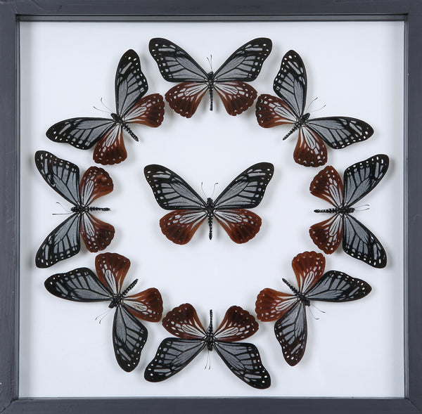 Tropical Butterflies Mounted in a Glass Frame | No.12-029 - Natural History Direct Online Shop - 1