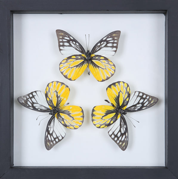 Stunning Mounted Butterflies | Framed Butterflies 12-031 - Natural History Direct Online Shop