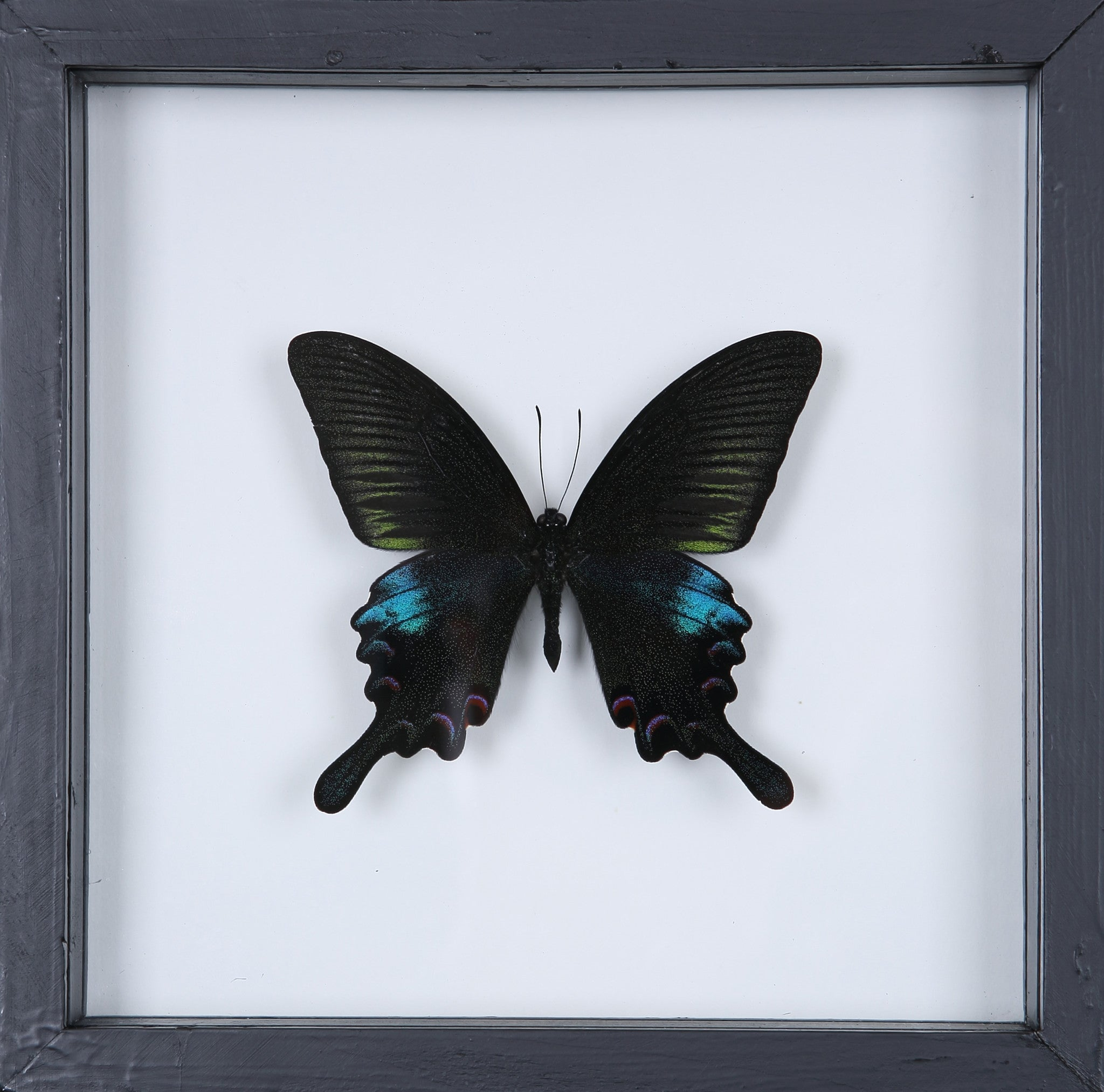 The Common Peacock Butterfly - Framed Butterfly – Natural History Direct
