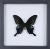 The Common Peacock Butterfly - Framed Butterfly - See Through Glass Frame - Natural History Direct Online Shop - 2