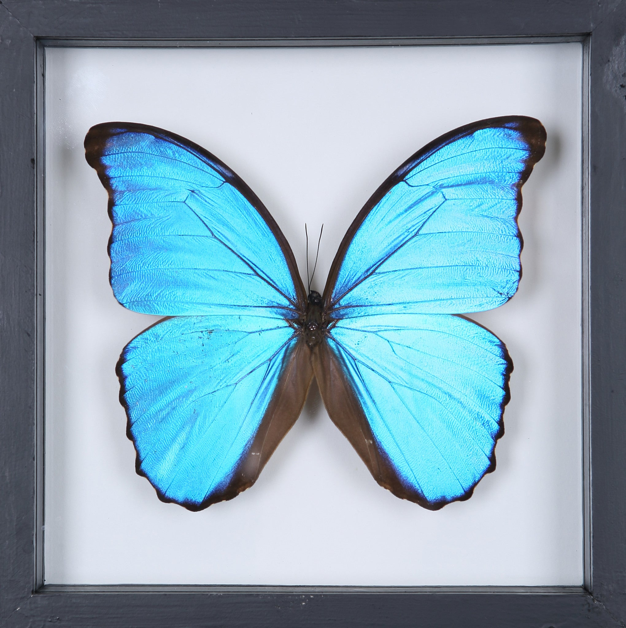 See Through Glass The Giant Blue Morpho Butterfly Framed Butterfly Natural