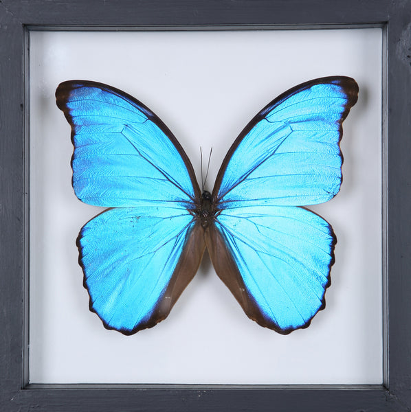The Giant Blue Morpho Butterfly - Framed Butterfly - See Through Glass Frame - Natural History Direct Online Shop - 3