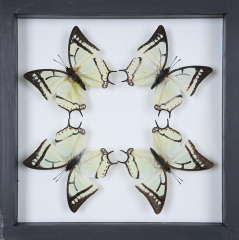 Stunning Mounted Butterflies | Framed Butterflies 12-047 - Natural History Direct Online Shop