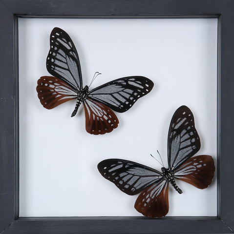 Stunning Mounted Butterflies | Framed Butterflies 12-049 - Natural History Direct Online Shop