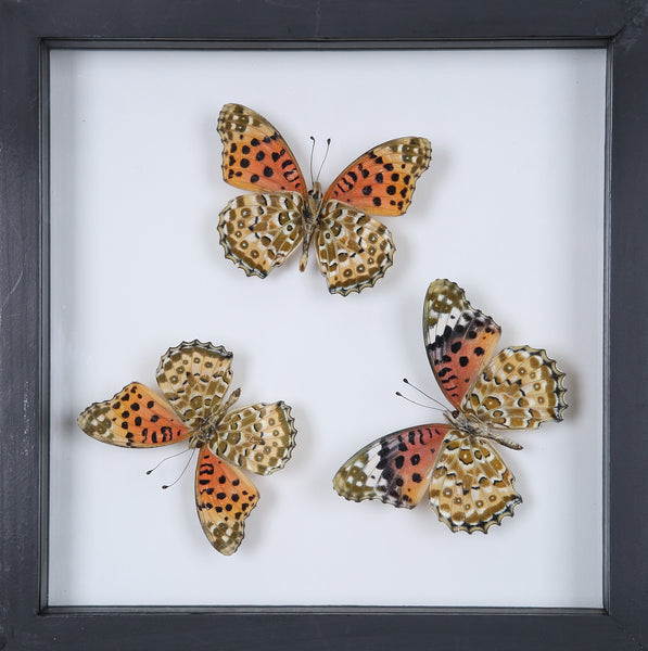 Stunning Mounted Butterflies | Framed Butterflies 12-051 - Natural History Direct Online Shop
