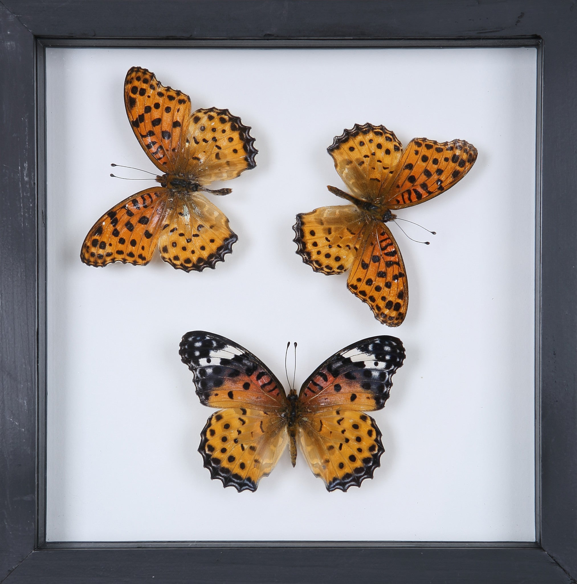 Stunning Mounted Butterflies | Framed Butterflies 12-052 – Natural ...