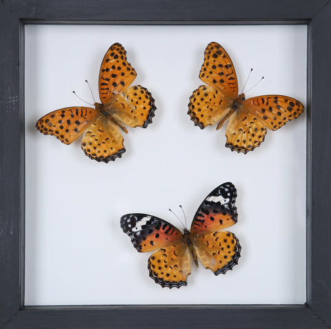 Stunning Mounted Butterflies | Framed Butterflies 12-053 - Natural History Direct Online Shop
