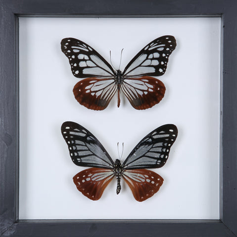 Stunning Mounted Butterflies | Framed Butterflies 12-054 - Natural History Direct Online Shop