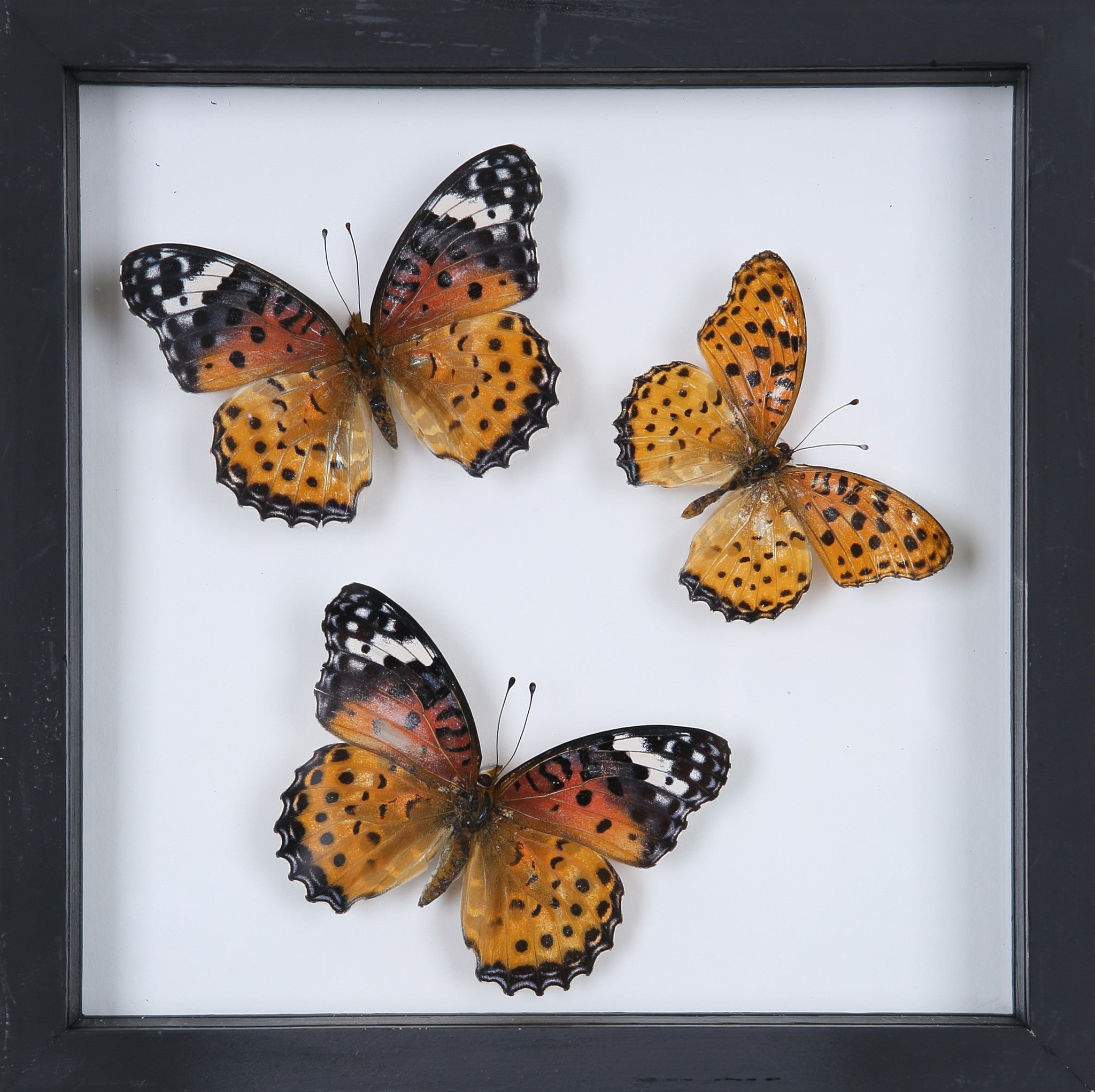 Stunning Mounted Butterflies | Framed Butterflies 12-055 – Natural ...