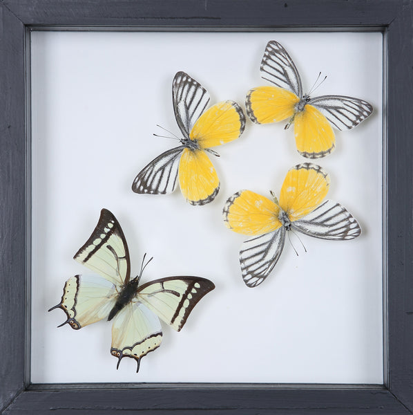 Stunning Mounted Butterflies | Framed Butterflies 12-056 - Natural History Direct Online Shop