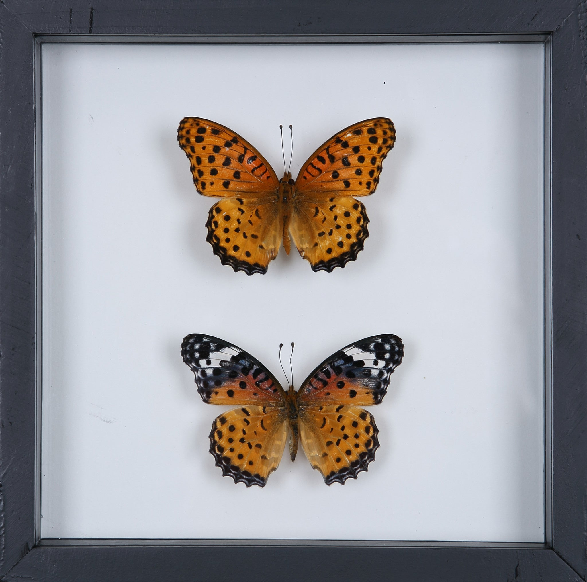 Stunning Mounted Butterflies | Framed Butterflies 12-071 – Natural ...