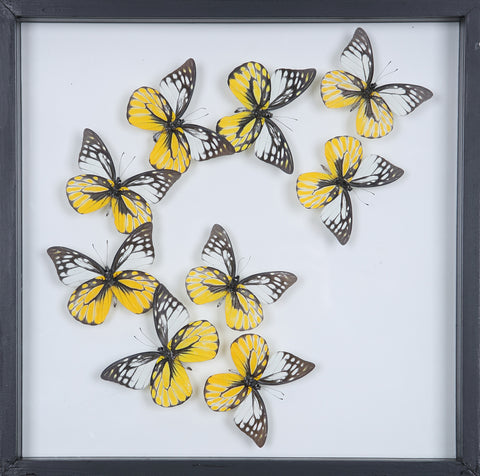 Tropical Butterflies Mounted in a Glass Frame | No.12-078 - Natural History Direct Online Shop - 1