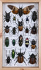 Entomology Insect Frame | Beetle Collection Taxidermy - Assorted Designs