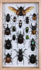 Entomology Insect Frame | Beetle Collection Taxidermy frame-12-081  - Natural History Direct Online Shop - 2