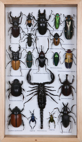 Entomology Insect Frame | Beetle Collection Taxidermy frame-12-082  - Natural History Direct Online Shop - 1