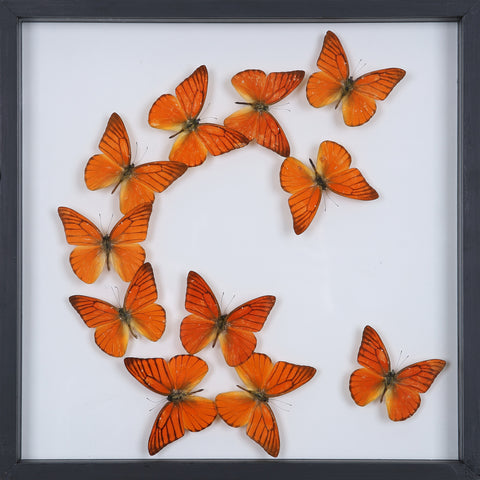 Tropical Butterflies Mounted in a Glass Frame | No.12-087 - Natural History Direct Online Shop - 1