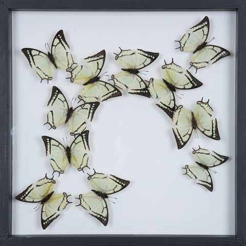 Tropical Butterflies Mounted in a Glass Frame | No.12-095 - Natural History Direct Online Shop - 1