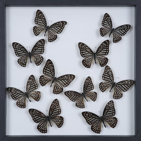 Tropical Butterflies Mounted in a Glass Frame | No.12-096 - Natural History Direct Online Shop - 1