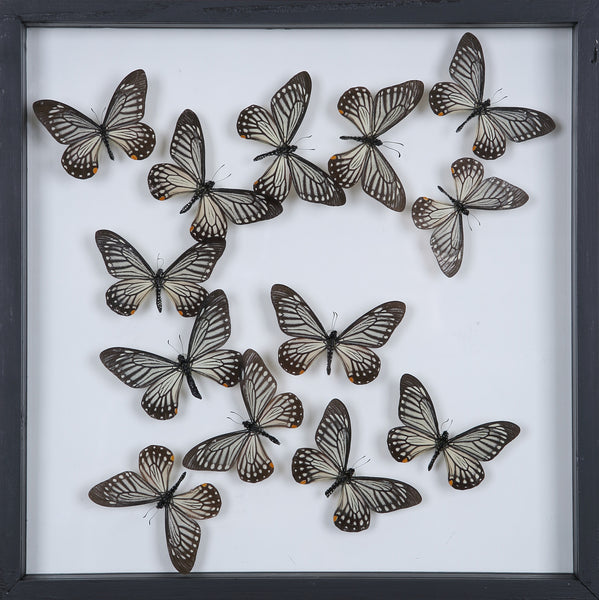 Tropical Butterflies Mounted in a Glass Frame | No.12-097 - Natural History Direct Online Shop - 1