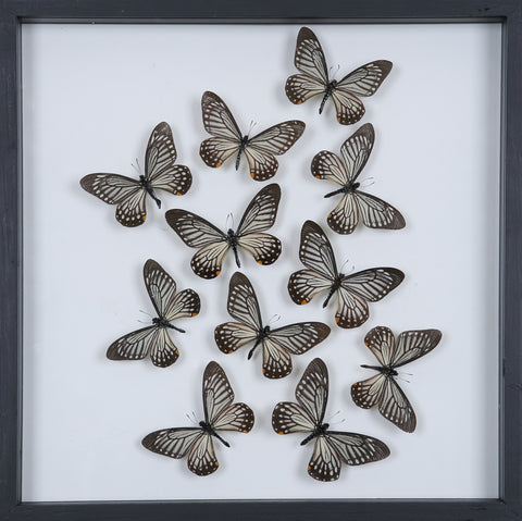 Tropical Butterflies Mounted in a Glass Frame | No.12-099 - Natural History Direct Online Shop - 1