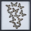 Tropical Butterflies Mounted in a Glass Frame | No.12-100 - Natural History Direct Online Shop - 1