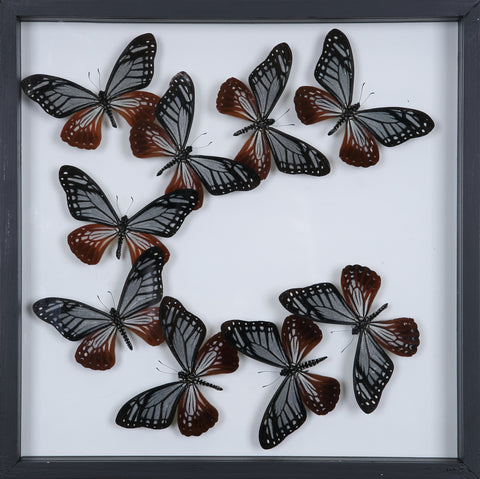 Tropical Butterflies Mounted in a Glass Frame | No.12-102 - Natural History Direct Online Shop - 1