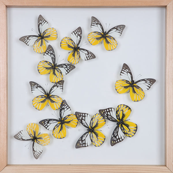 Tropical Butterflies Mounted in a Glass Frame | No.12-103 - Natural History Direct Online Shop - 1