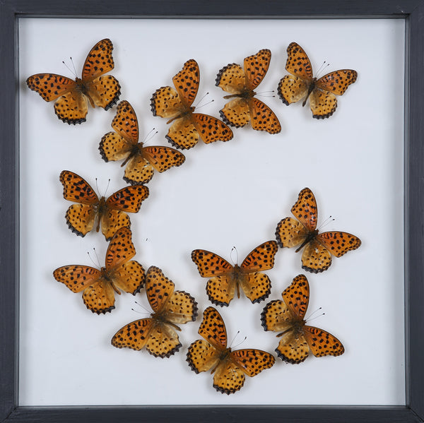 Tropical Butterflies Mounted in a Glass Frame | No.12-104 - Natural History Direct Online Shop - 1