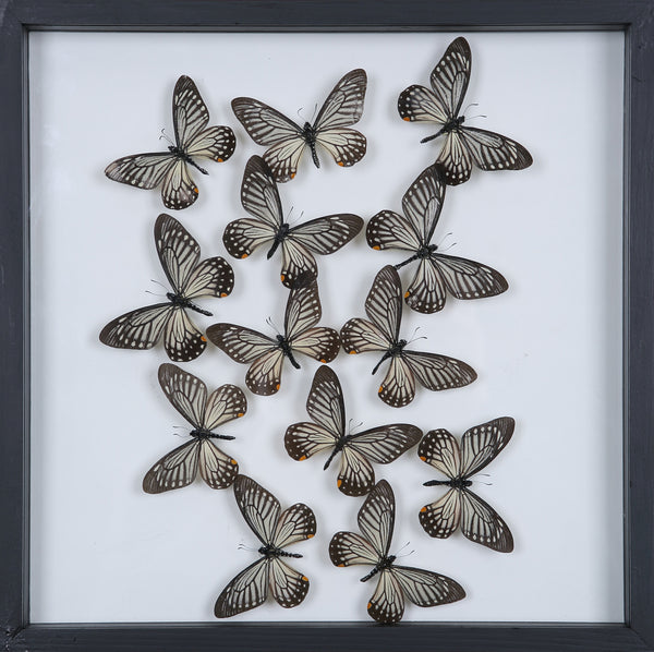 Tropical Butterflies Mounted in a Glass Frame | No.12-105 - Natural History Direct Online Shop - 1