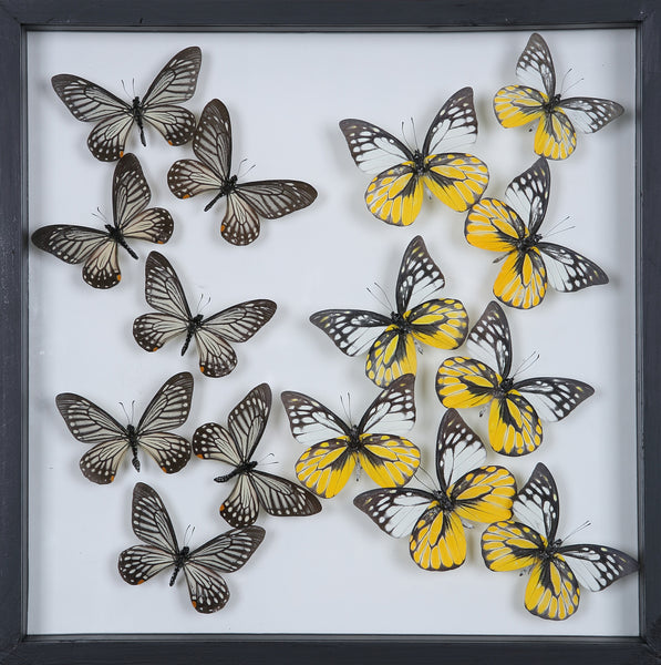 Tropical Butterflies Mounted in a Glass Frame | No.12-106 - Natural History Direct Online Shop - 1