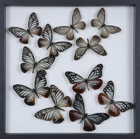 Tropical Butterflies Mounted in a Glass Frame | No.12-107 - Natural History Direct Online Shop - 1