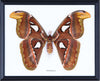 The Giant Atlas Moth - Real Moth Framed - Natural History Direct Online Shop - 3