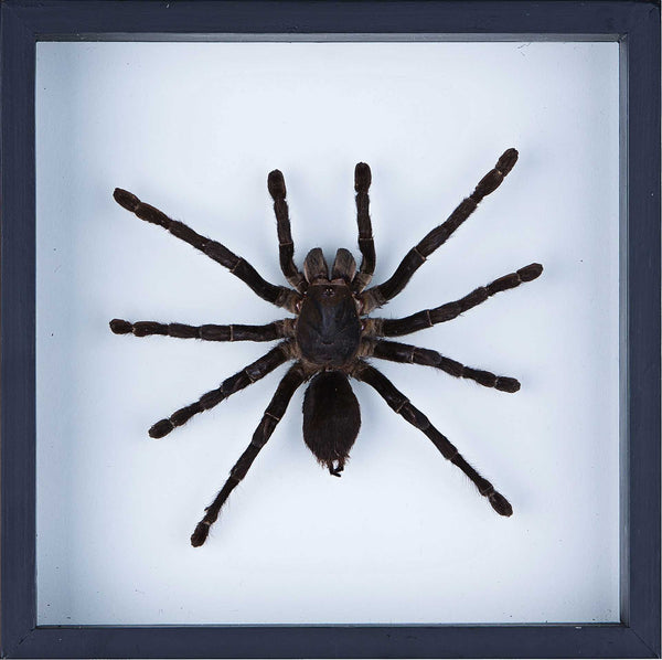 Real Giant Bird Eating Tarantula Mounted in a choice of frames - Natural History Direct Online Shop - 2