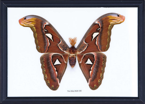 The Giant Atlas Moth - Real Moth Framed - Natural History Direct Online Shop - 1