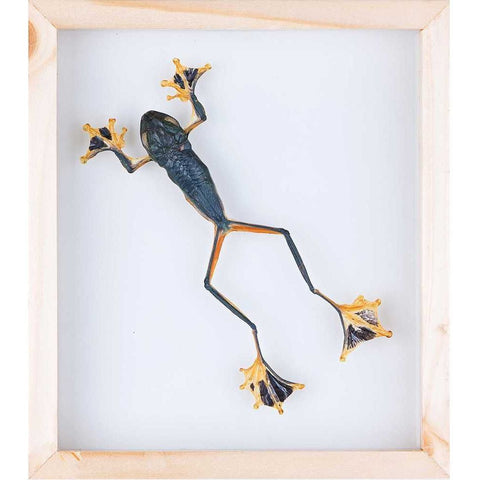 Mossy Flying Frog Taxidermy (Rhacophorus) Double glass frame - Natural History Direct Online Shop - 1