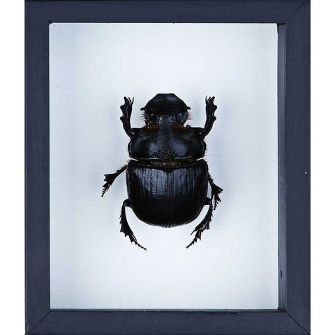Elephant Dung Beetle (Heliocopris dominus) Glass Frame - Natural History Direct Online Shop