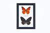 Two Assorted Butterflies - Real Butterfly Framed - Natural History Direct Online Shop - 2