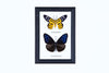 Two Assorted Butterflies - Real Butterfly Framed - Natural History Direct Online Shop - 3