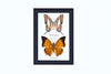 Two Assorted Butterflies - Real Butterfly Framed - Natural History Direct Online Shop - 4