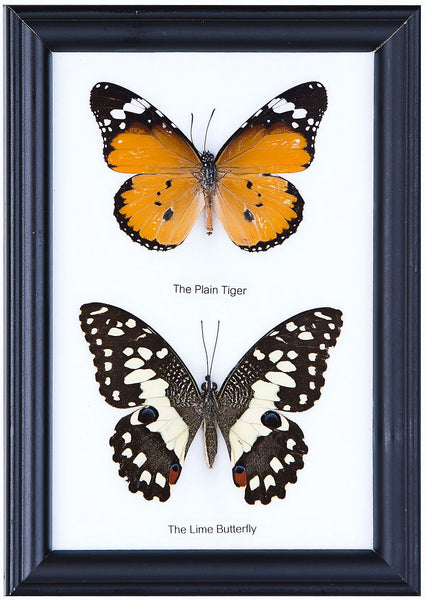 Two Assorted Butterflies - Real Butterfly Framed - Natural History Direct Online Shop - 1