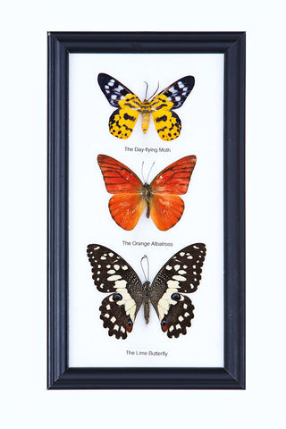 Three Assorted Butterflies - Real Butterflies Framed - Natural History Direct Online Shop - 1