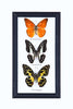 Three Assorted Butterflies - Real Butterflies Framed - Natural History Direct Online Shop - 2